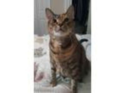 Adopt Twiggy a Brown Tabby Calico (short coat) cat in Tampa, FL (5695937)