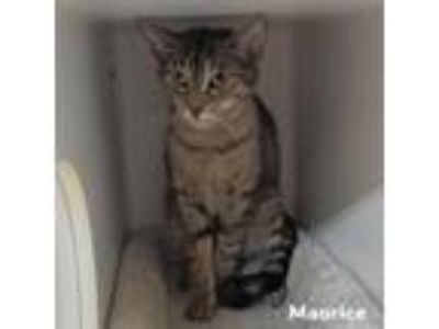 Adopt Maurice a Gray or Blue Domestic Shorthair cat in Madisonville