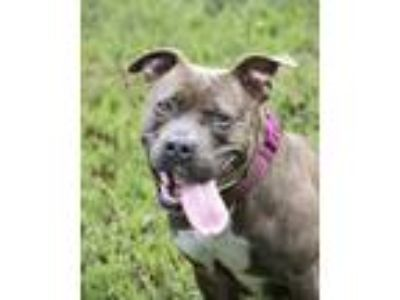 Adopt Shelby a Brindle - with White Pit Bull Terrier / Mixed dog in Windsor