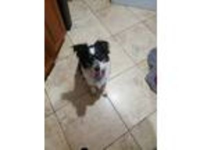 Adopt Gracie a Tricolor (Tan/Brown & Black & White) Australian Shepherd dog in