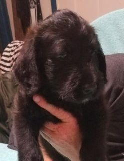 Labradoodle PUPPY FOR SALE ADN-91497 - Beautiful Female Labradoodles