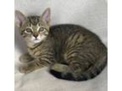 Adopt Mila (kitten, in foster)!! a Domestic Short Hair