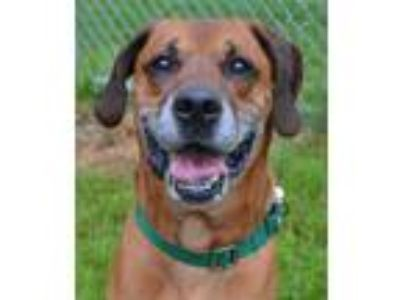 Adopt Rocco - Available At Fox Run Mall 7/13 a Boxer / Labrador Retriever /