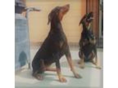 Adopt Kiara a Black - with Tan, Yellow or Fawn Doberman Pinscher / Mixed dog in