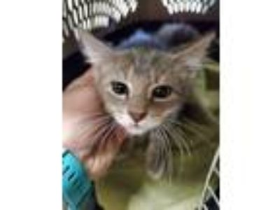 Adopt Cotton Ball 14357 a Gray or Blue Domestic Shorthair (short coat) cat in