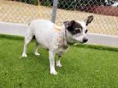 Adopt HARLEY a Brown/Chocolate - with White Rat Terrier / Mixed dog in