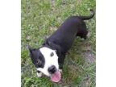 Adopt SALLY ANN a Black - with White American Pit Bull Terrier / Mixed dog in
