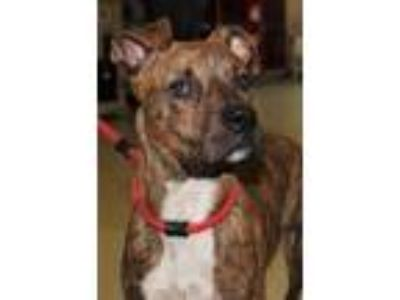 Adopt Scooby a Pit Bull Terrier, Mixed Breed