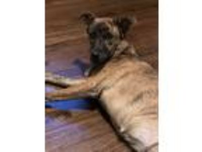 Adopt Shuri a Brindle Boxer / German Shepherd Dog dog in Huntersville