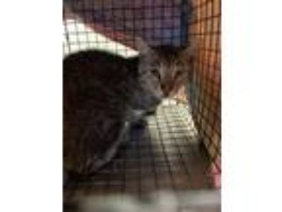 Adopt TURTLE a Domestic Short Hair