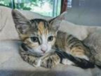 Adopt Bridget a Domestic Short Hair