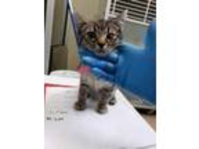 Adopt Cyclone a Gray or Blue Domestic Shorthair / Domestic Shorthair / Mixed cat