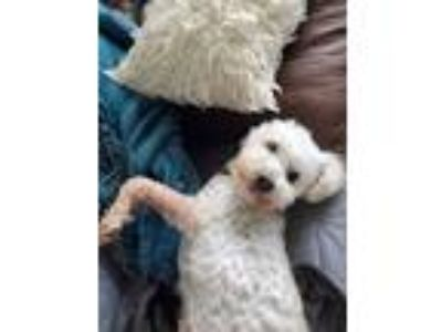 Adopt Tucker a White Bichon Frise / Poodle (Miniature) / Mixed dog in