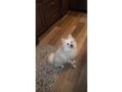 Adopt Willow a White American Eskimo Dog / Mixed dog in Battle Ground