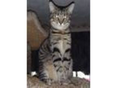 Adopt Mickey (male kitten) a Domestic Short Hair, Tiger