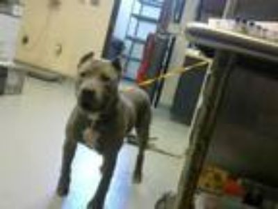 Adopt MAX a Pit Bull Terrier