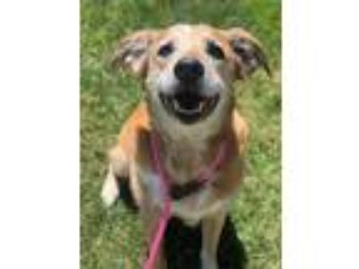 Adopt Fezzik a Tan/Yellow/Fawn Labrador Retriever / Mixed dog in Caldwell