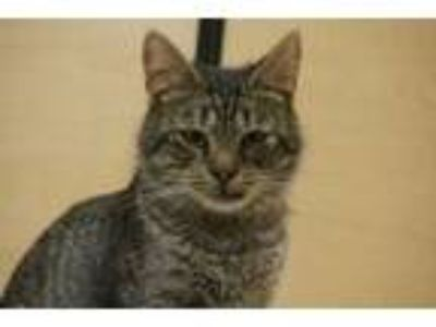 Adopt Woody a Tiger Striped Domestic Shorthair (short coat) cat in Salem