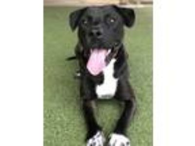 Adopt Rocky a Labrador Retriever / Mixed dog in Birmingham, AL (25546228)