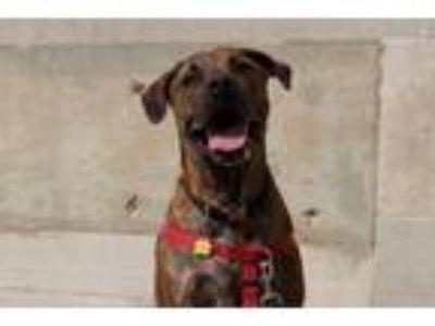 Adopt Buster a Boxer, Cane Corso Mastiff