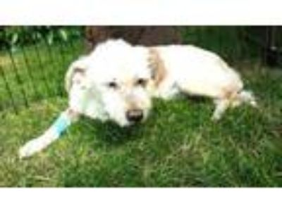Adopt Alvis a West Highland White Terrier Westie