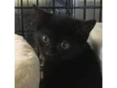 Adopt Tyrion a All Black Domestic Shorthair cat in Island Park, NY (25327721)
