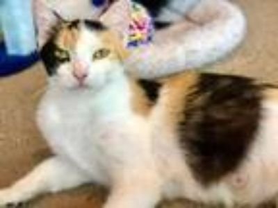 Adopt Winter a White Domestic Shorthair / Domestic Shorthair / Mixed cat in