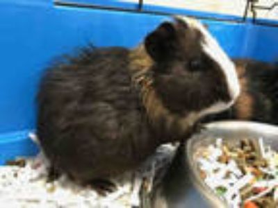 Adopt HUEY a Black Guinea Pig / Mixed small animal in Upland, CA (25556736)