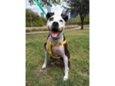 Adopt Mirabelle TS a Pit Bull Terrier