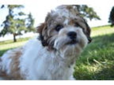Top Five Cavachon Puppies Doon Iowa - Circus
