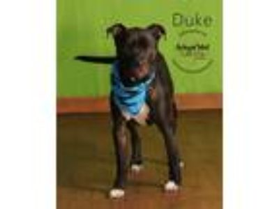 Adopt Duke a Pit Bull Terrier / Mixed dog in Topeka, KS (25311228)