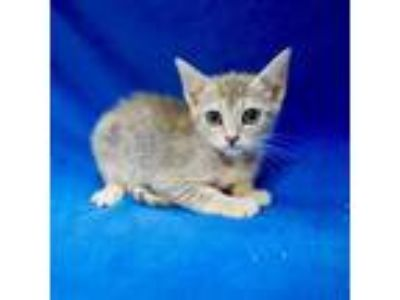 Adopt Josephine a Gray or Blue Domestic Shorthair cat in Culver City