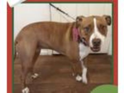 Adopt Harlee a Red/Golden/Orange/Chestnut - with White American Pit Bull Terrier
