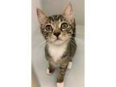 Adopt Dime a Brown or Chocolate Domestic Shorthair / Domestic Shorthair / Mixed
