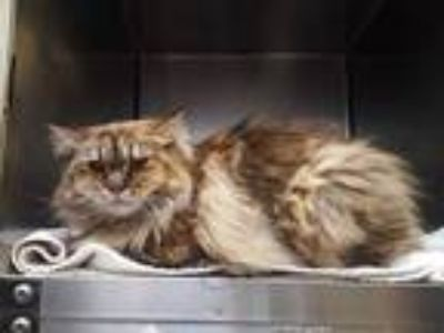 Adopt BELLE a Brown Tabby Domestic Longhair / Mixed (long coat) cat in Murray