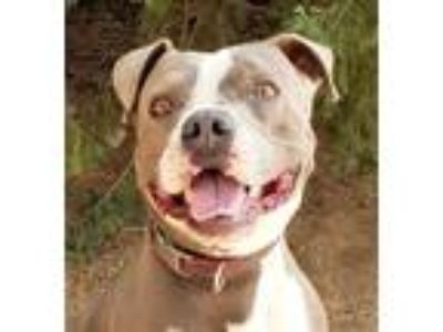 Adopt Handsome Mr Hiram a Gray/Silver/Salt & Pepper - with White American Pit