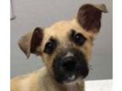 Adopt Gregg a Tan/Yellow/Fawn Mixed Breed (Medium) / Mixed dog in Dubuque