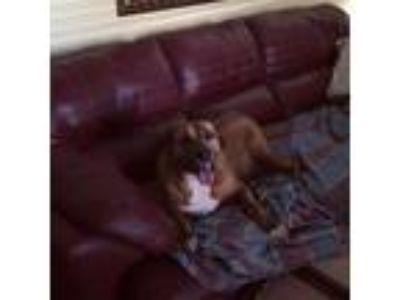 Adopt Jilly a Labrador Retriever