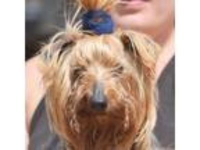 Adopt Will a Yorkshire Terrier