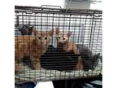 Adopt Elway a Orange or Red Domestic Shorthair cat in Knoxville, TN (25881448)