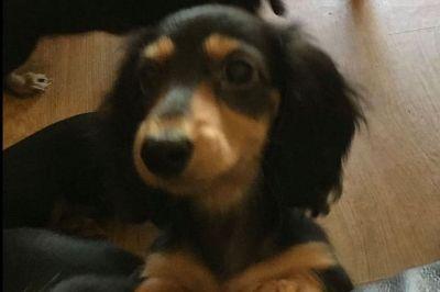 Dachshund Longhair Miniature Puppies