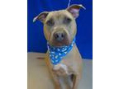 Adopt Waffles a Staffordshire Bull Terrier / Mixed dog in Rochester Hills