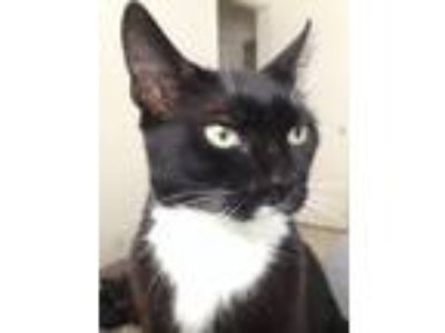 Adopt Jinx a Black & White or Tuxedo American Shorthair / Mixed (short coat) cat