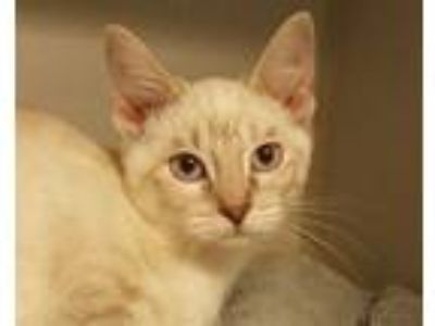 Adopt Anotsu a Siamese, Domestic Short Hair