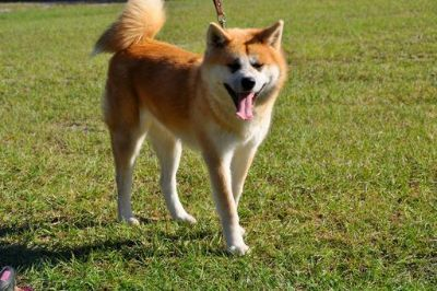 Akita PUPPY FOR SALE ADN-53901 - Akita Inu Pure Breed Female For Sale