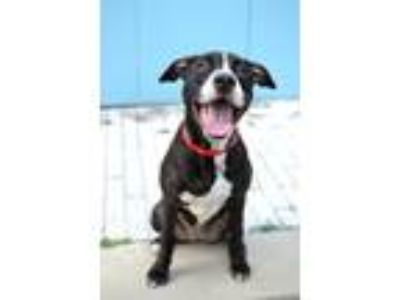 Adopt Jazzabelle a Pit Bull Terrier