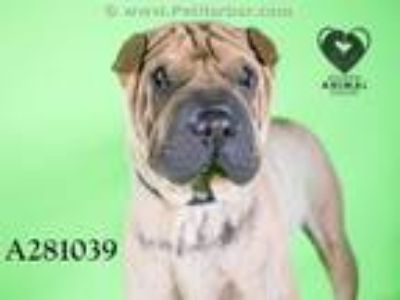 Adopt A281039 a Shar-Pei, Mixed Breed