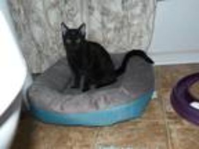 Adopt Clyde a All Black Domestic Shorthair (short coat) cat in Stafford
