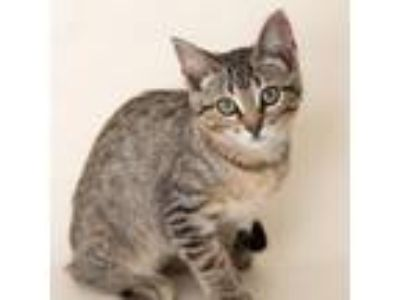 Adopt Pichu a Domestic Short Hair