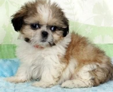 Attractive Shih tzu puppies available